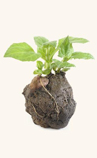 Yaconknolle mit Erde und Blättern